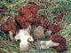 Plusieurs fausses morilles, le champignon qui ressemble à la morille.